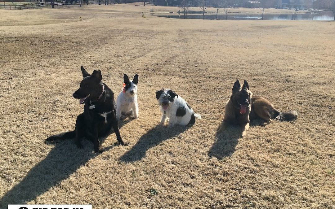 Allen Dog Training | Tip Top K9 Is The Best Dog Training Company In Town