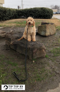 Dog Training In Colleyville