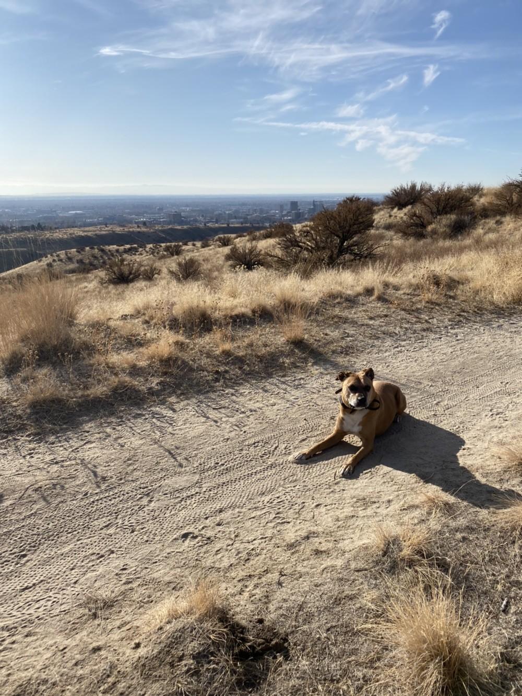 Meridian Dog Training - Rufus the Labrador/Boxer Mix