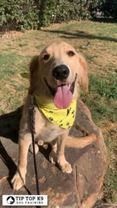 Best Dog Training Novi