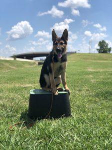 German Shepherd Training Tulsa Tip Top K9