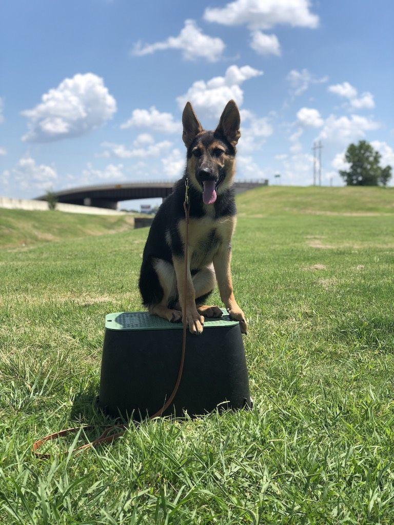 German Shepherd Dog Training Tulsa | Tip Top K9