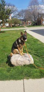 Harlee Troy Michigan Dog Training