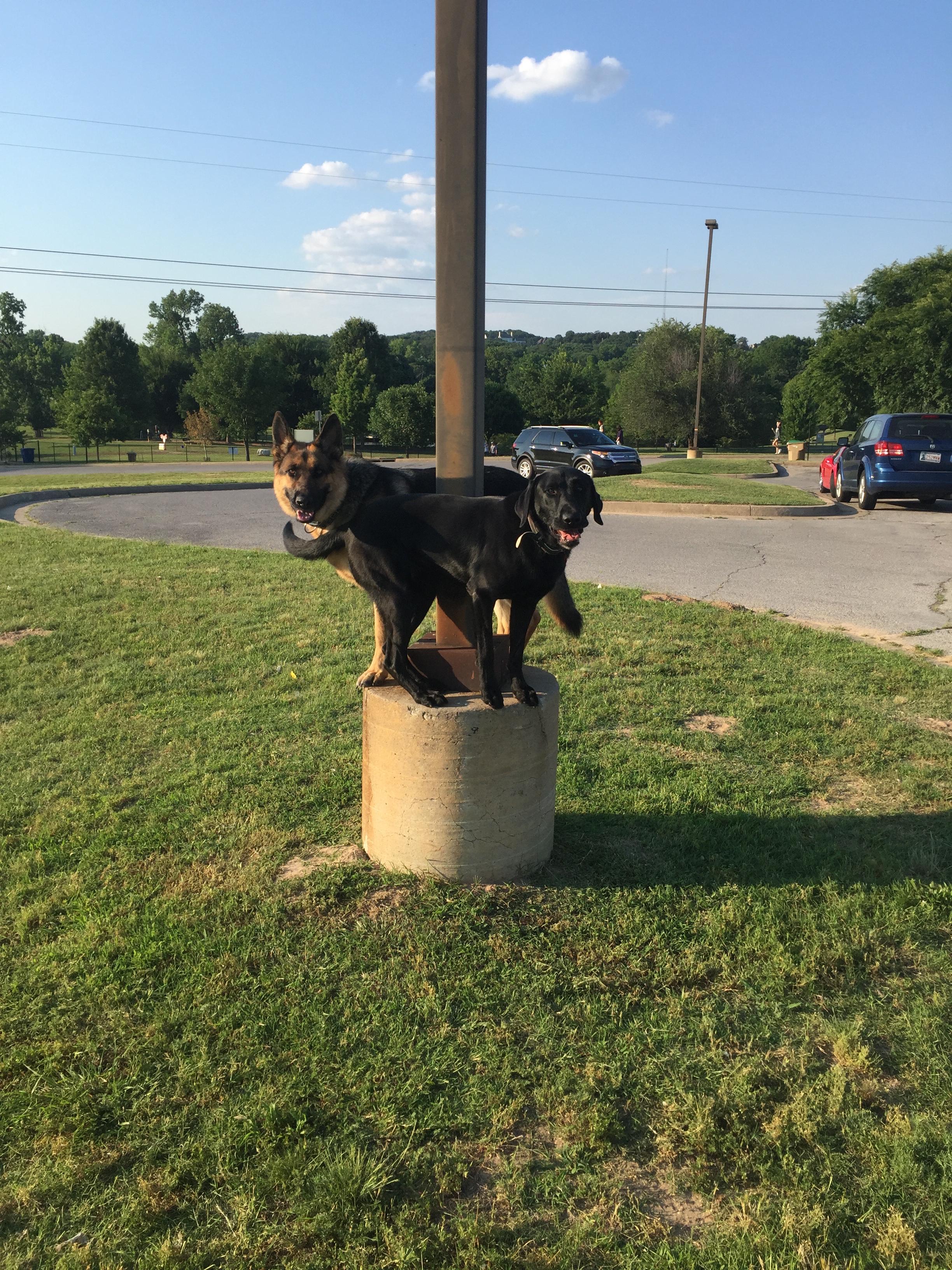 Dog of the Week! - Kaiser a Heidelberg German Shepherd - Tip