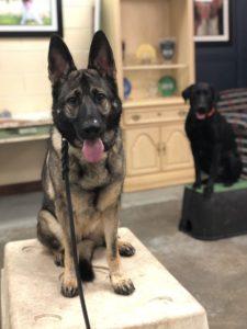 Tulsa Dog Training Athena German Shepherd