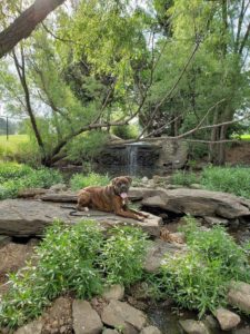 Tulsa Dog Training Boxer Bear