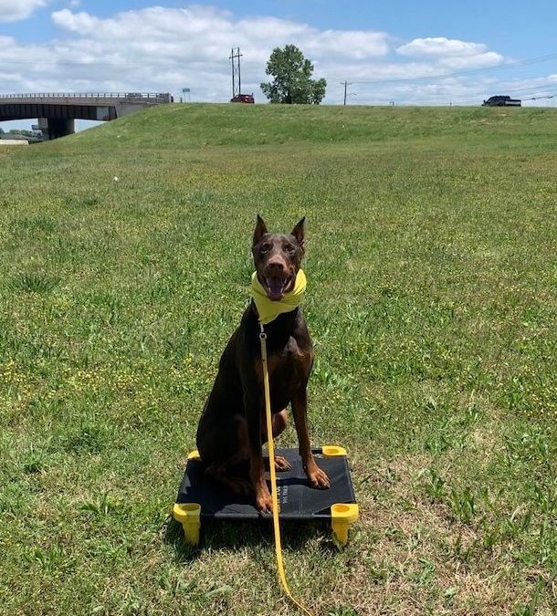 Find Dog Training Colleyville Texas  | Eliminate Leash Pulling With Us!